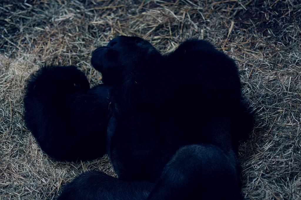 goryl, zoo