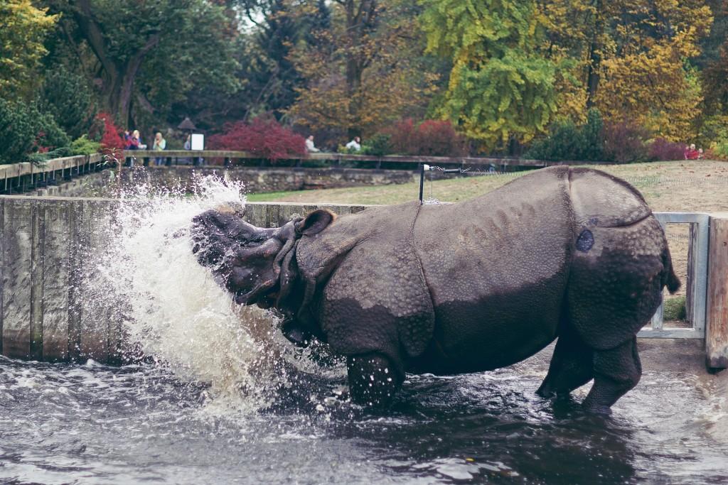 nosorożec, zoo warszawa