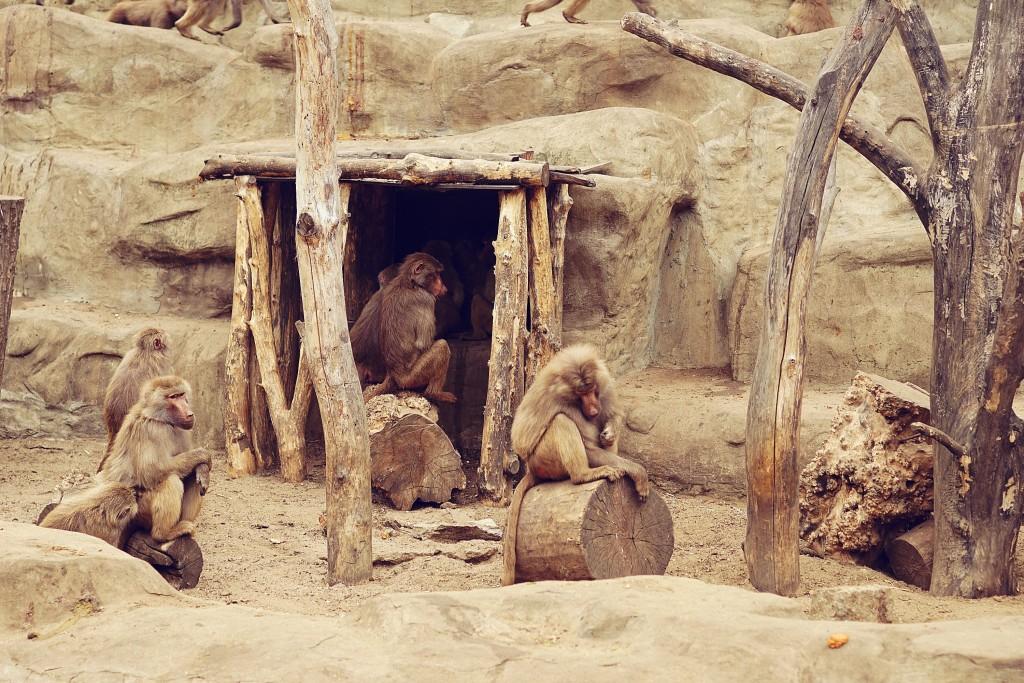 szympansy, zoo
