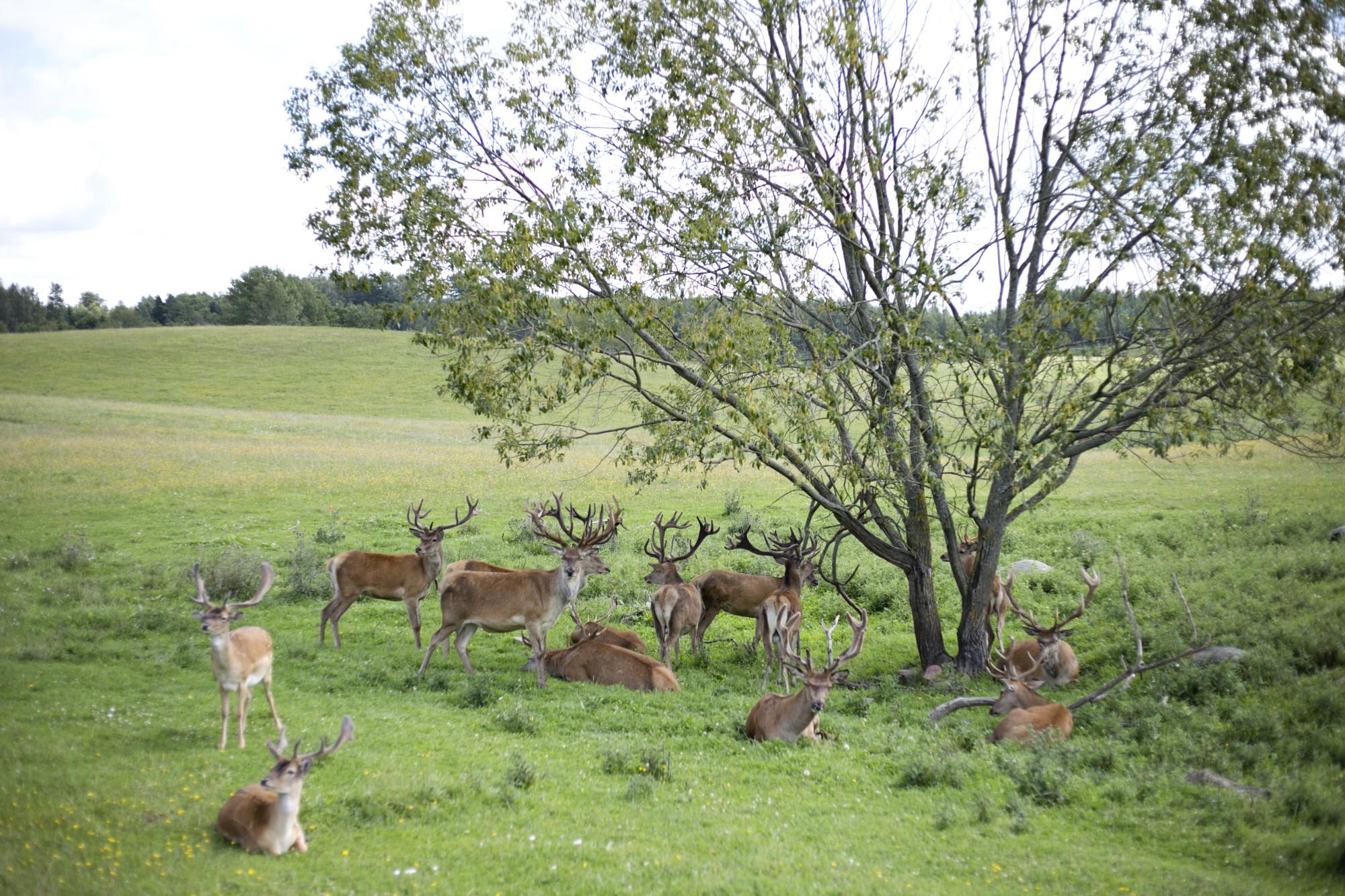 Safari okrągłe, mazury