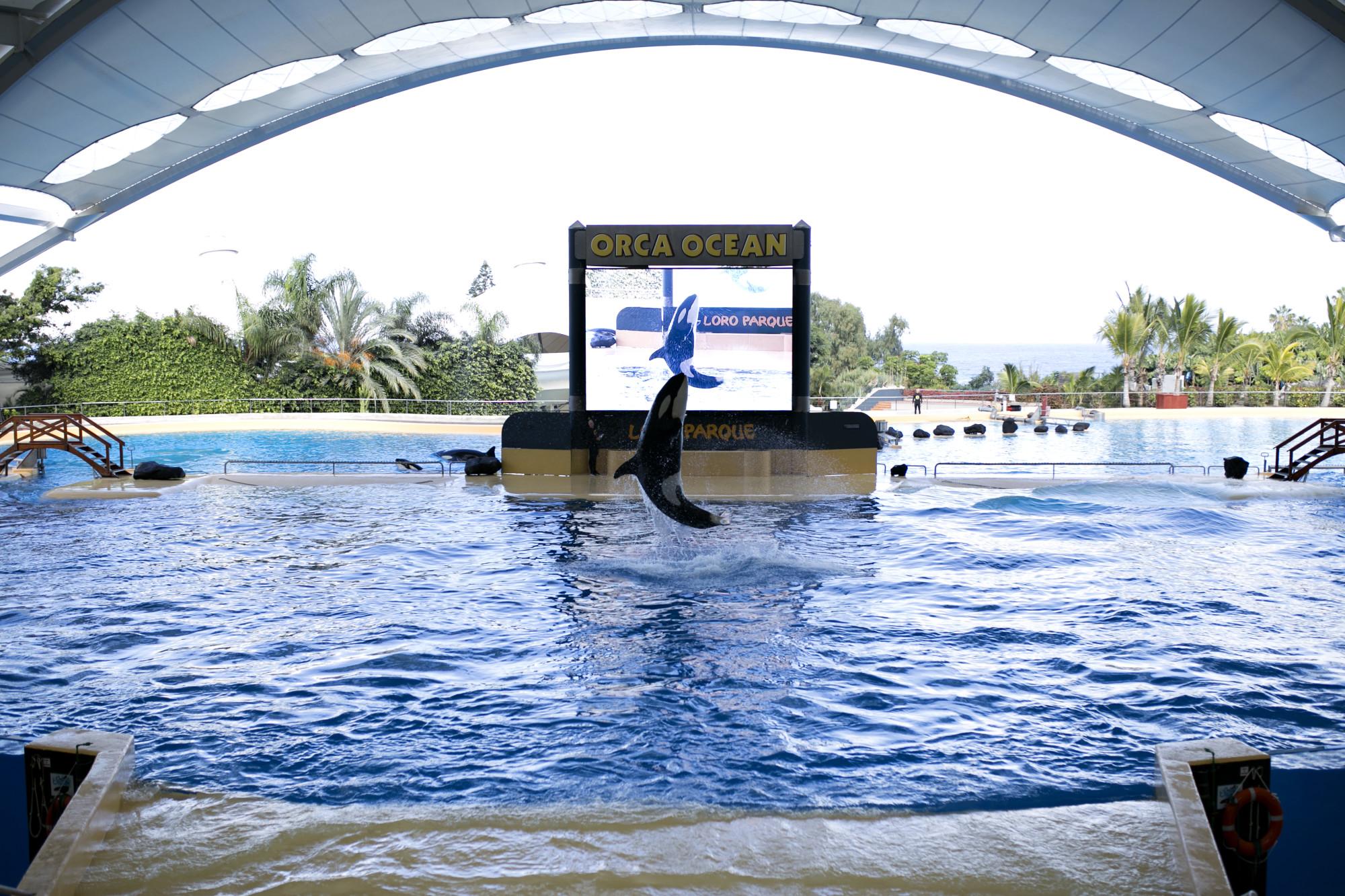 teneryfa, tenerife, loro park, orca