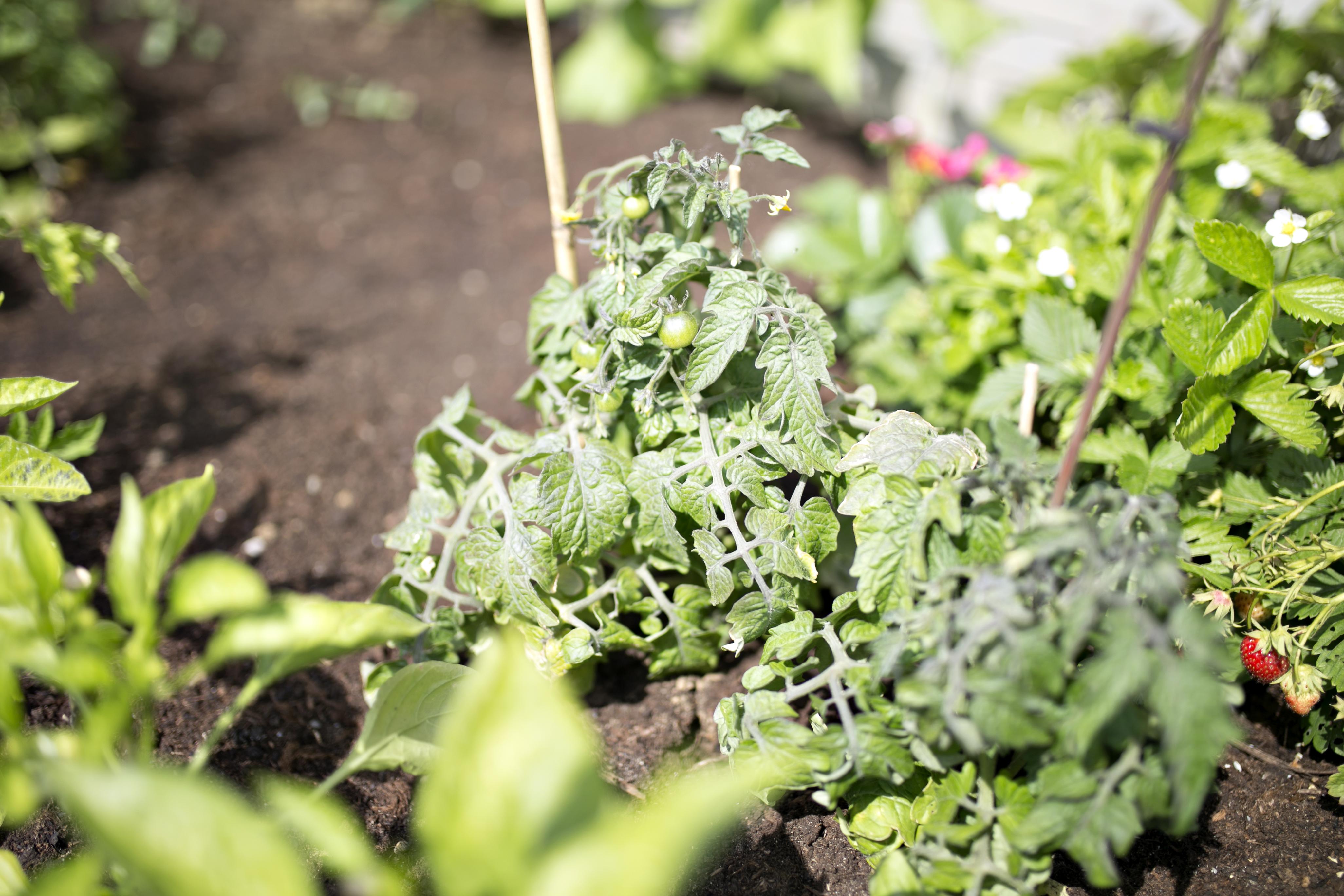 warzywnika przy domu, warzywniaczek